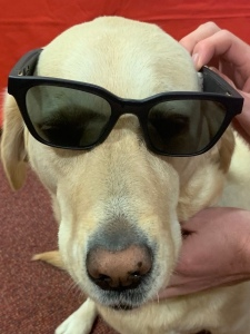 Guide Dog Toffee wearing the Bose Frames.